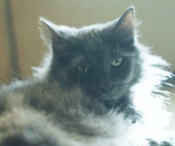 photo of grey cat